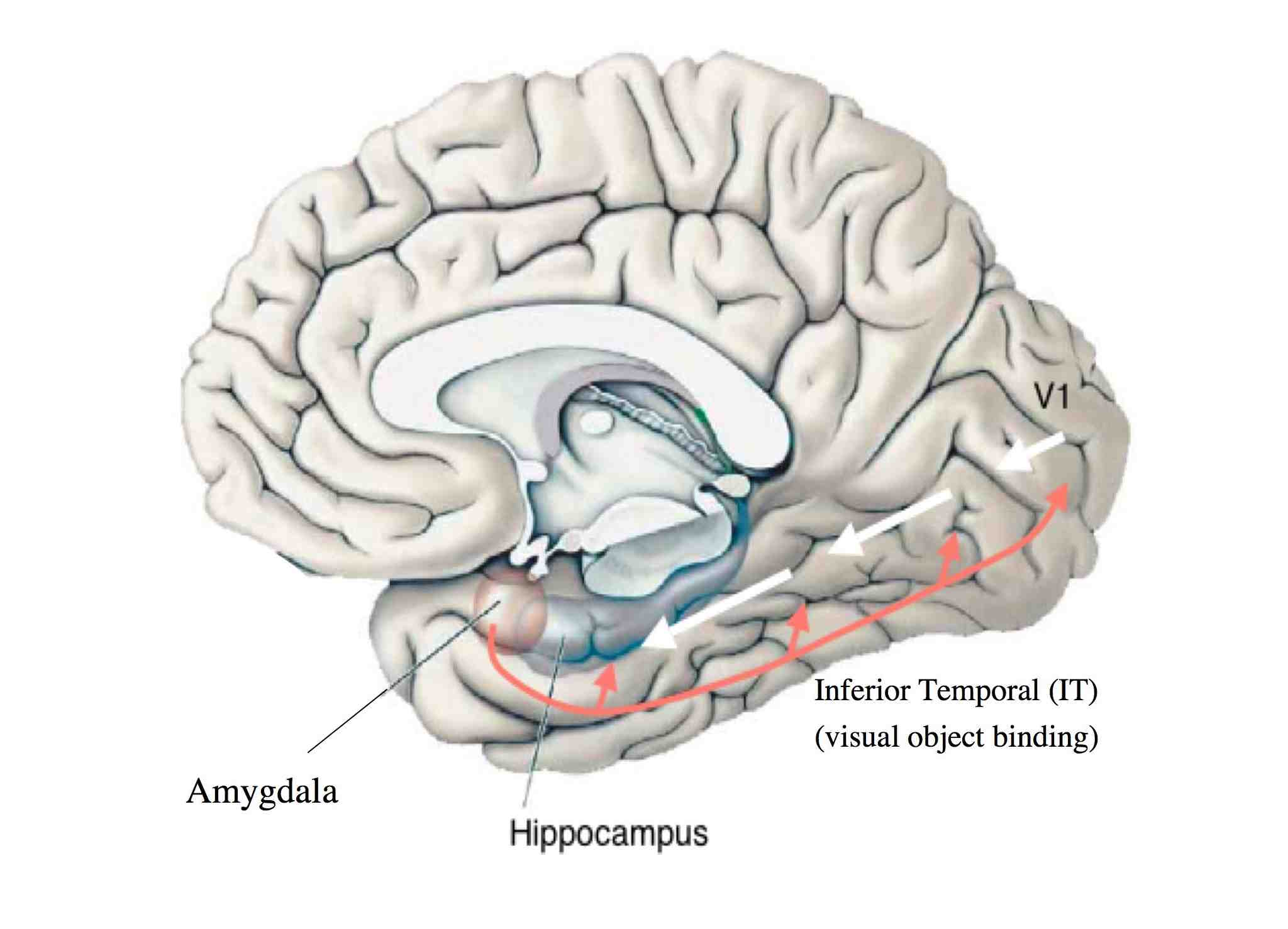 Researchers target two brain sites responsible for anxiety | Psych Pedia